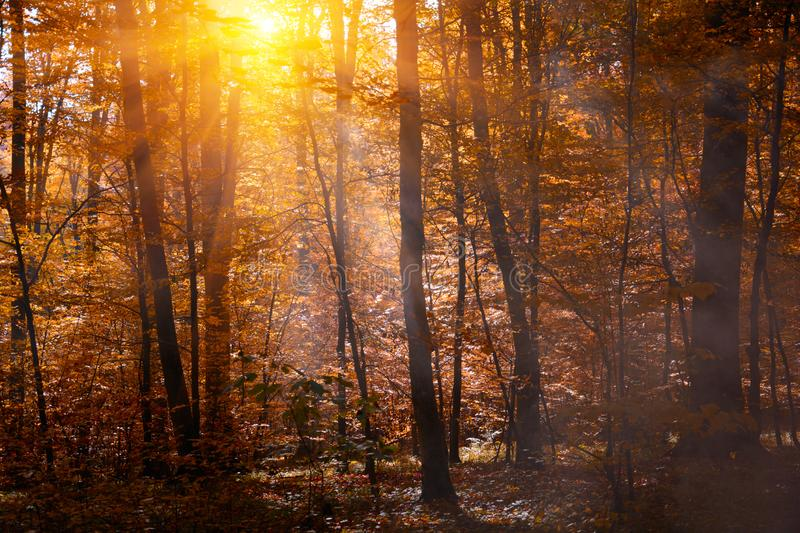 Autumn treetops in fall forest with mist. Sky and sunlight through the autumn tree branches. Autumn background. Copy space. Soft royalty free stock photos
