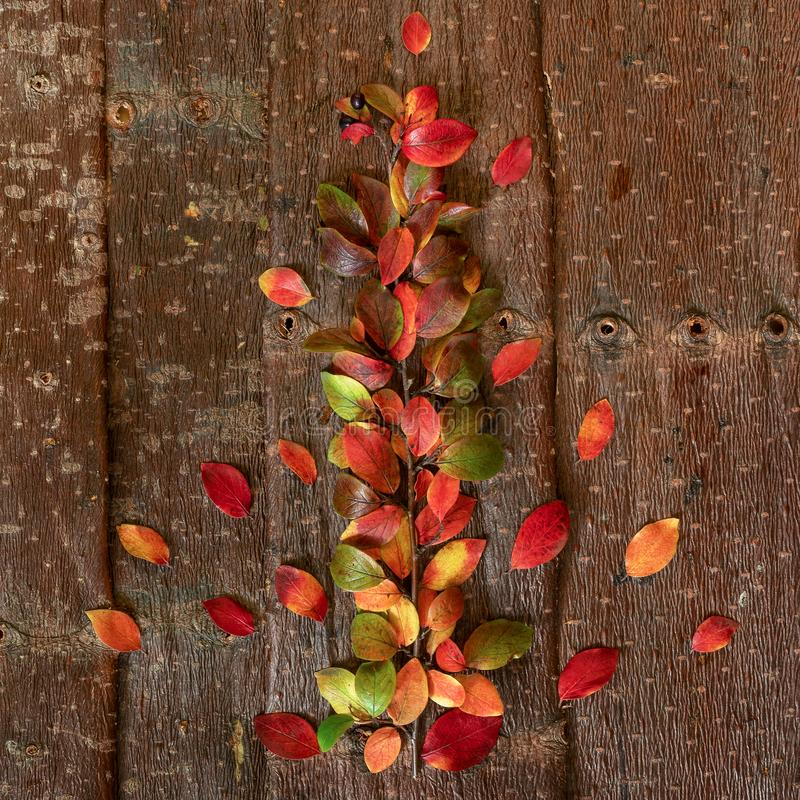 Autumn twig with multicolored colorful natural leaves on tree bark background. stock image