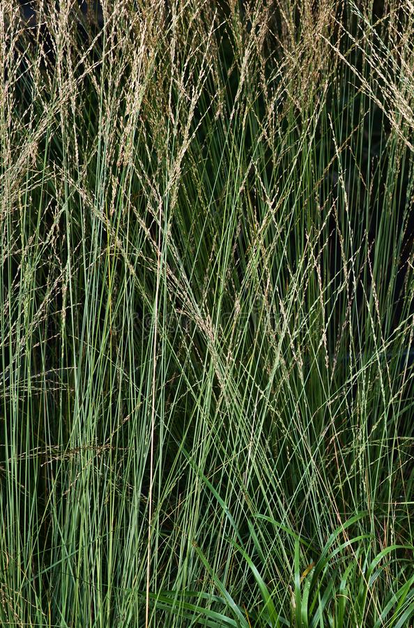 Autumn vegetation in close-up. Green tall grass with ears. Cold colurs stock image