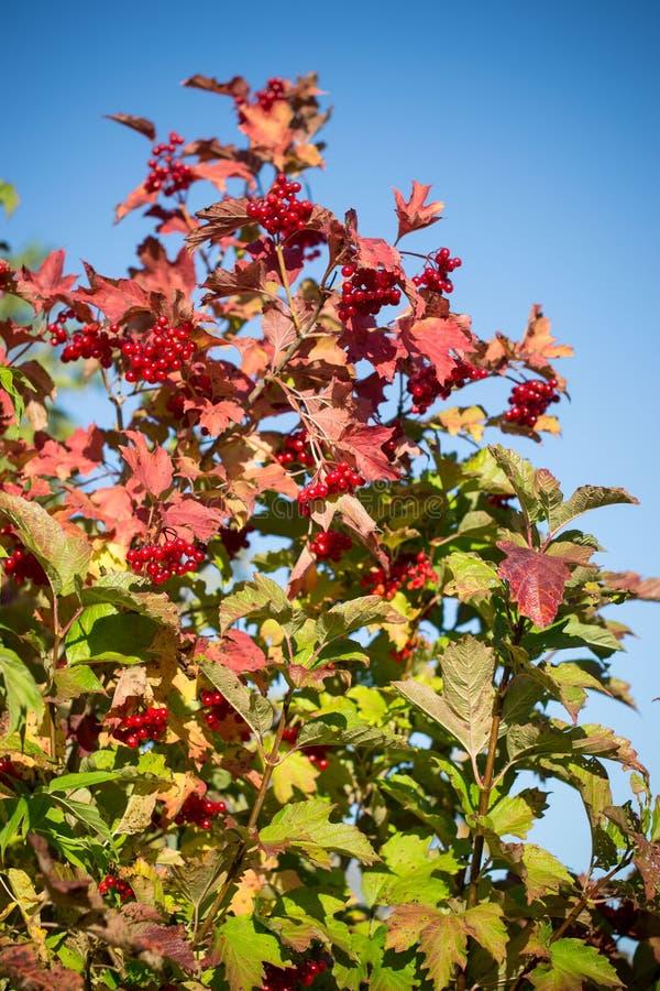 Autumn viburnum. stock photo