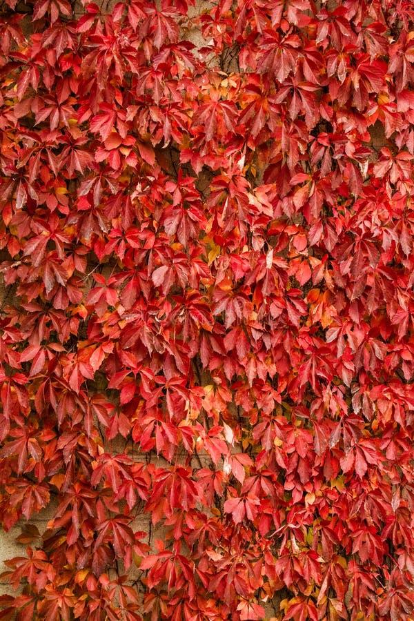 Autumn Vine Leaves Background Texture fotos de stock royalty free