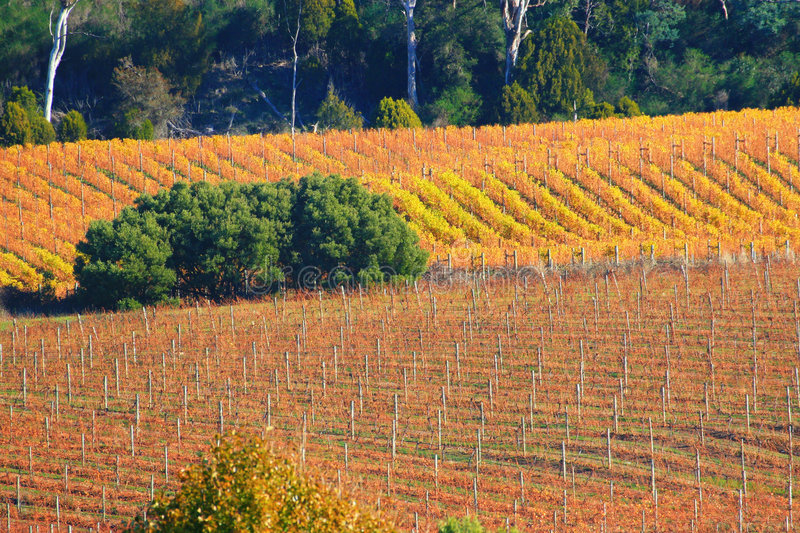 Download Autumn Vines stock photo. Image of grape, agriculture, countryside - 856102
