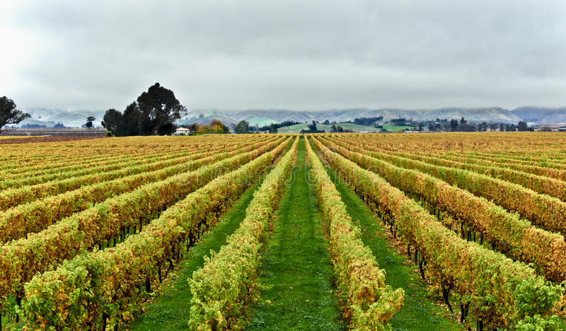 Autumn Vines Marlbough Country New Zealand royalty free stock photo