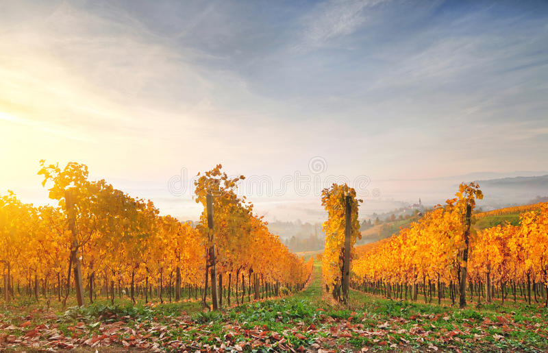 Autumn vineyard on a hill, lit by warm early morning light. Autumn vineyardsl, lit by warm early morning light stock photos
