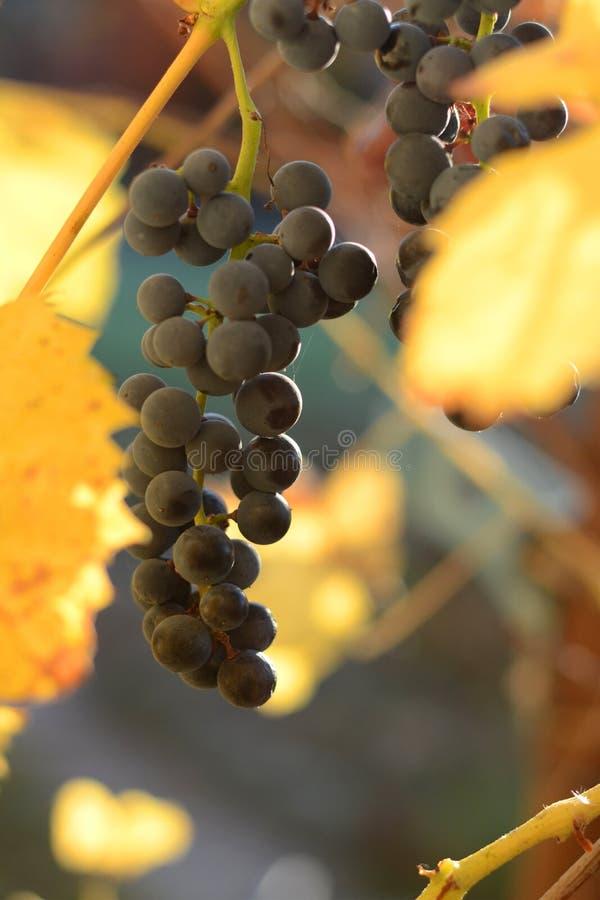 Autumn vineyard, ripe blue grapes royalty free stock image