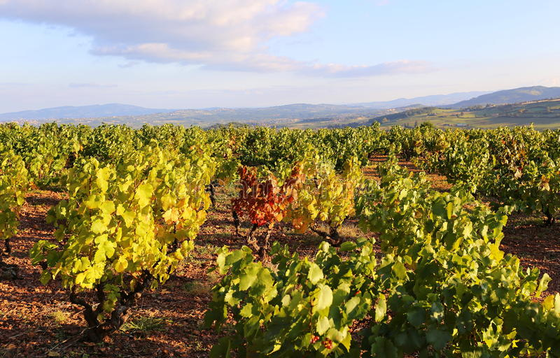 Autumn vineyard at sunset royalty free stock photography