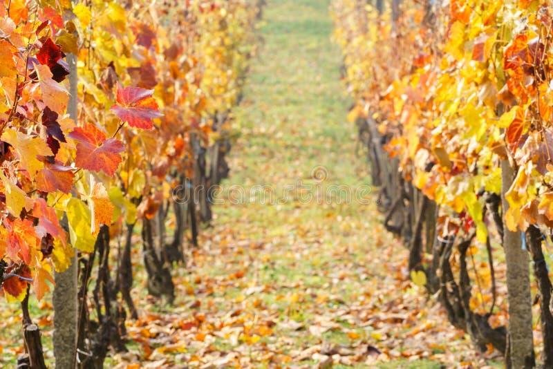 Autumn Vineyards fotografia stock libera da diritti