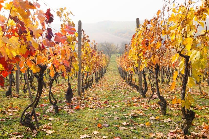 Autumn Vineyards fotografie stock libere da diritti