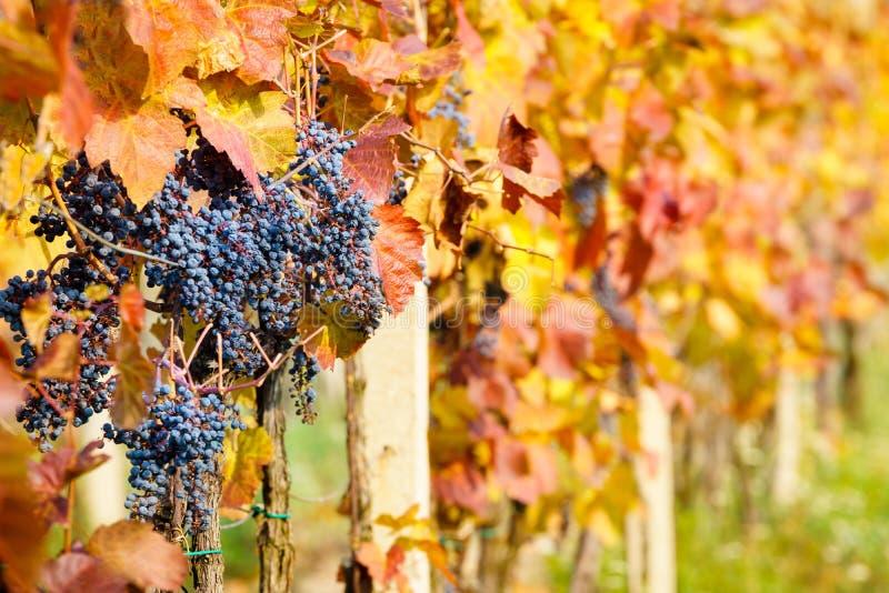 Autumn Vineyards immagine stock libera da diritti