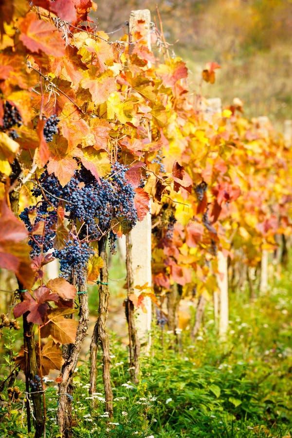 Autumn Vineyards fotografia stock