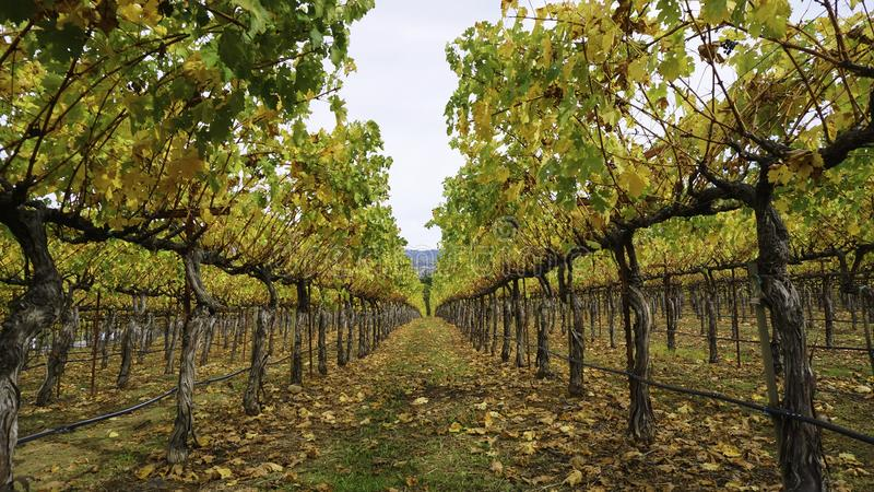 Autumn Vineyards royalty-vrije stock fotografie