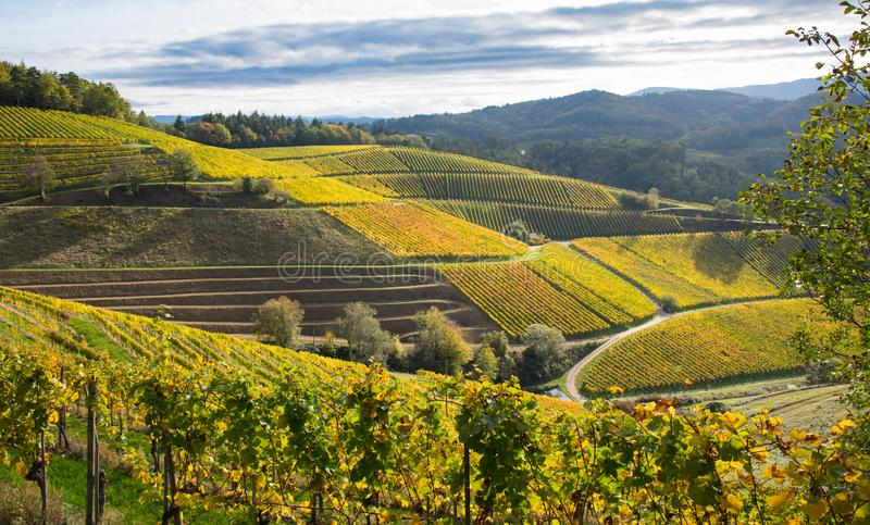 Landscape above Durbach in the black forest. Autumn in the vineyards of Durbach in the black forest in germany stock photography