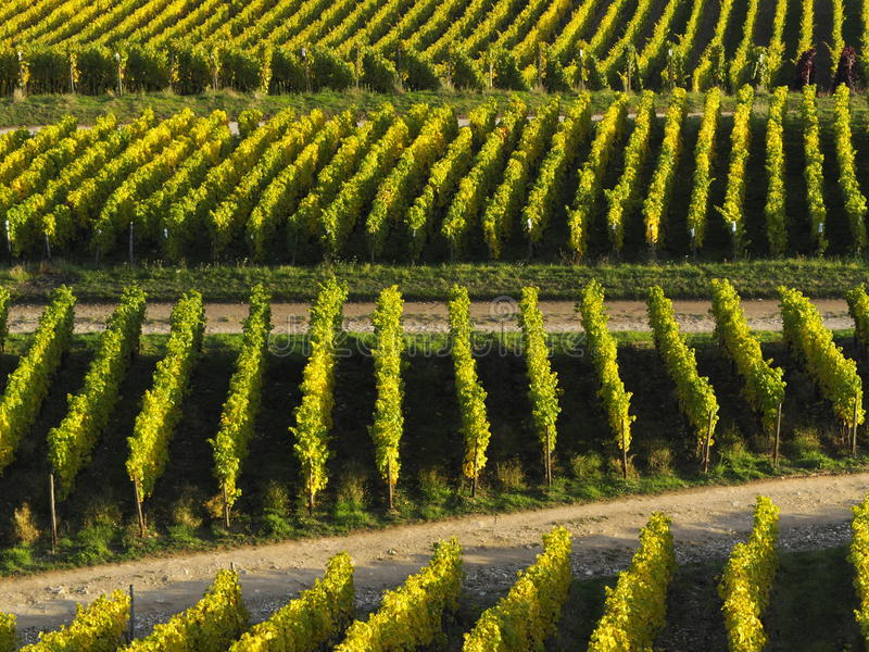 Autumn in the vineyards at the river rhine near Rüdesheim stock photography