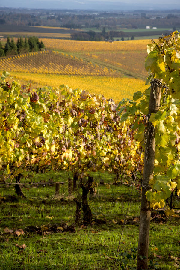 Autumn vineyards, Willamette Valley, Oregon. Changing vineyard leaves in fall, Willamette Valley, Oregon royalty free stock images