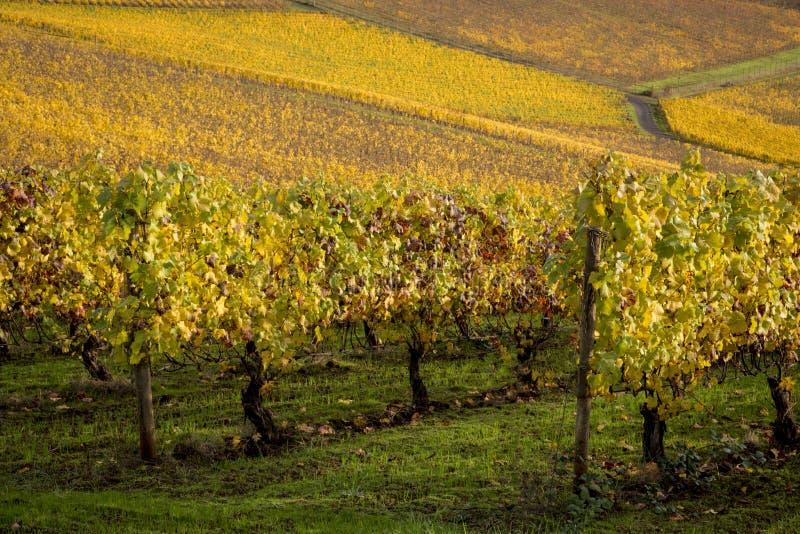 Autumn vineyards, Willamette Valley, Oregon. Changing vineyard leaves in fall, Willamette Valley, Oregon royalty free stock image