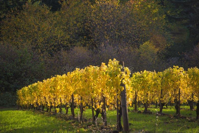 Autumn vineyards, Willamette Valley, Oregon stock image