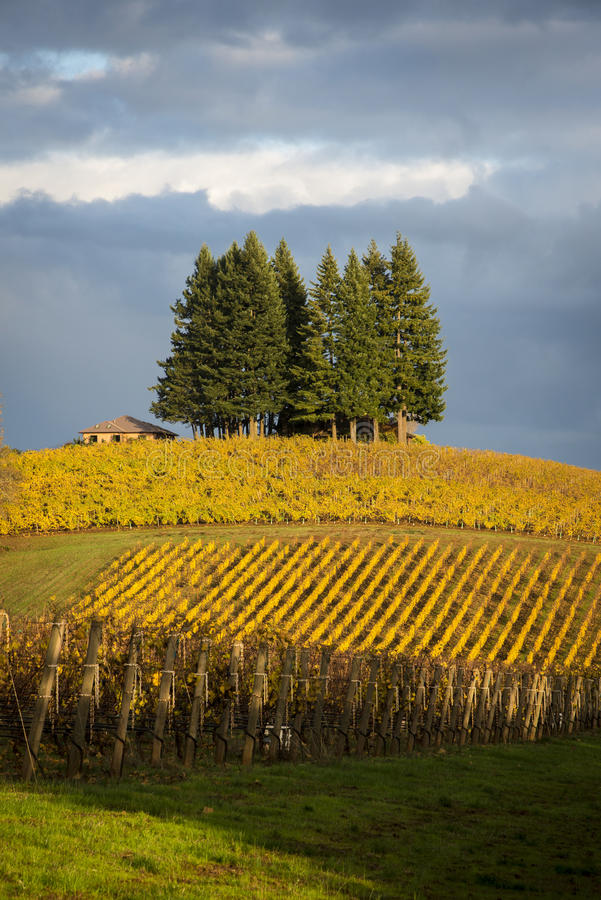 Autumn vineyards, Willamette Valley, Oregon. Changing vineyard leaves in fall, Willamette Valley, Oregon stock image