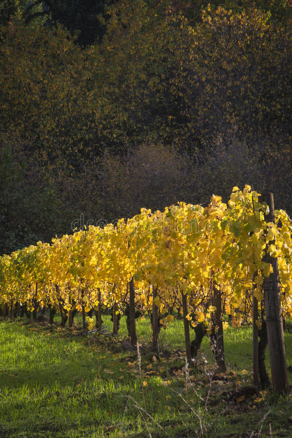 Autumn vineyards, Willamette Valley, Oregon royalty free stock image