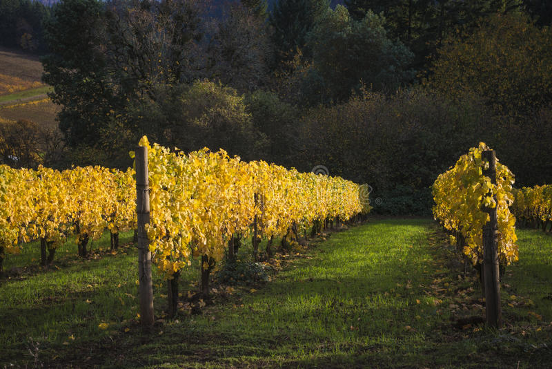 Autumn vineyards, Willamette Valley, Oregon royalty free stock photography