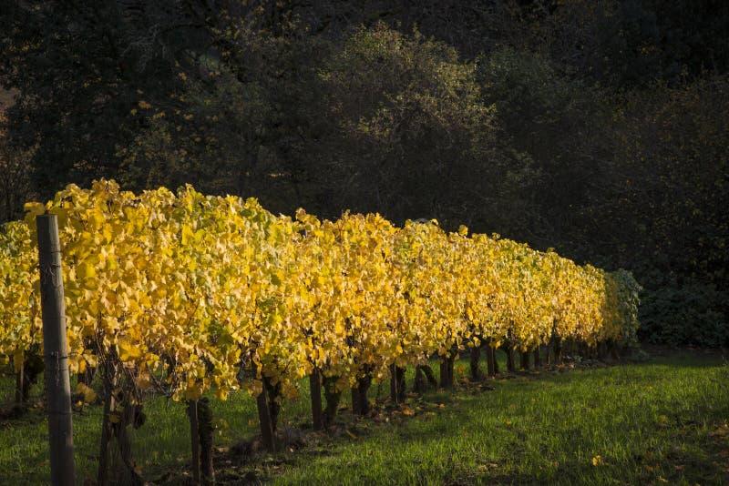 Autumn vineyards, Willamette Valley, Oregon. Changing vineyard leaves in fall, Willamette Valley, Oregon stock photo