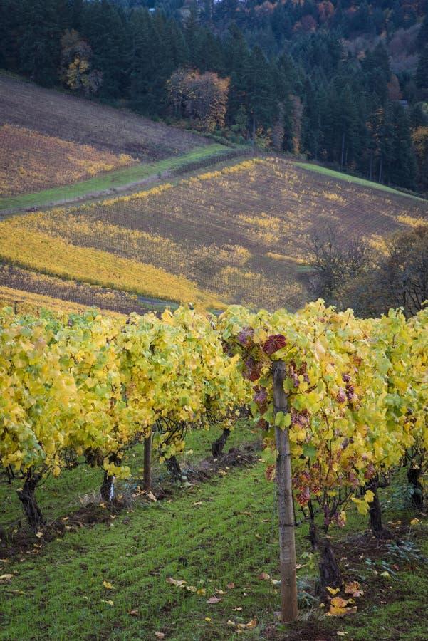 Autumn vineyards, Willamette Valley, Oregon. Changing vineyard leaves in fall, Willamette Valley, Oregon royalty free stock photography