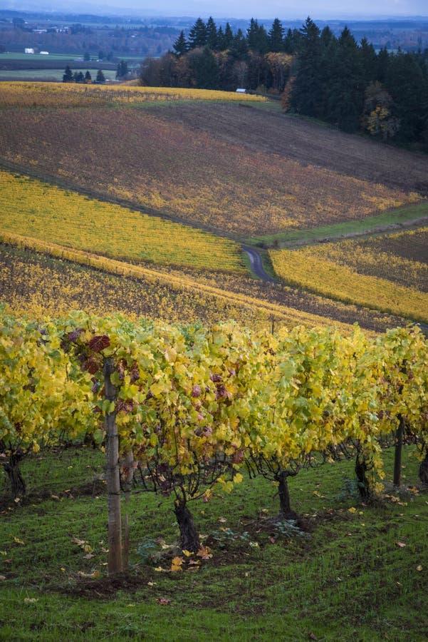 Autumn vineyards, Willamette Valley, Oregon. Changing vineyard leaves in fall, Willamette Valley, Oregon stock photography