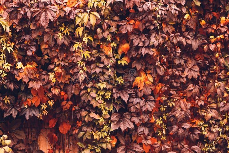Autumn Virginia Creeper fotografía de archivo