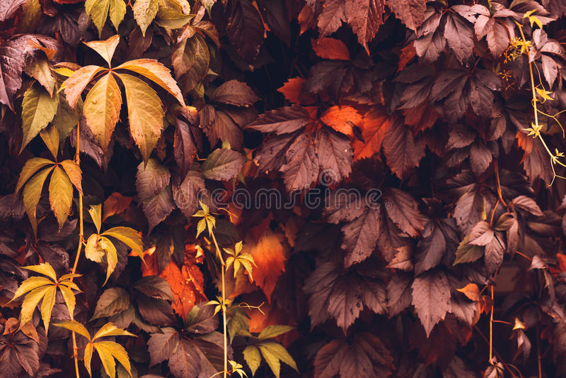 Autumn Virginia Creeper imagen de archivo libre de regalías