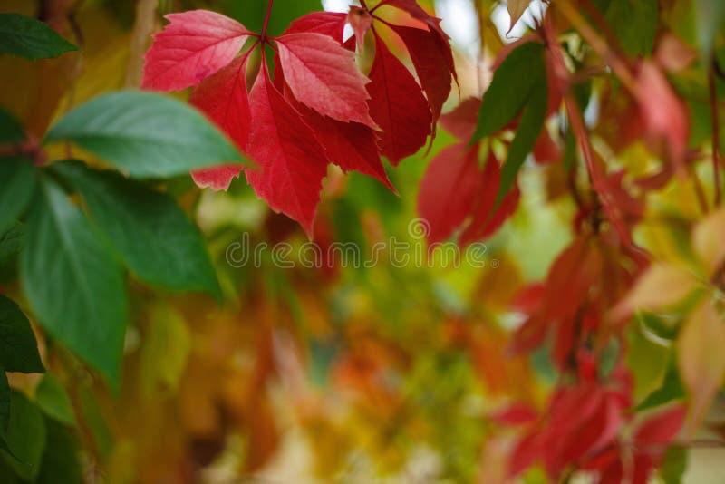 Autumn virginia creeper leaves. Botanical, nature, gardening bac royalty free stock photo