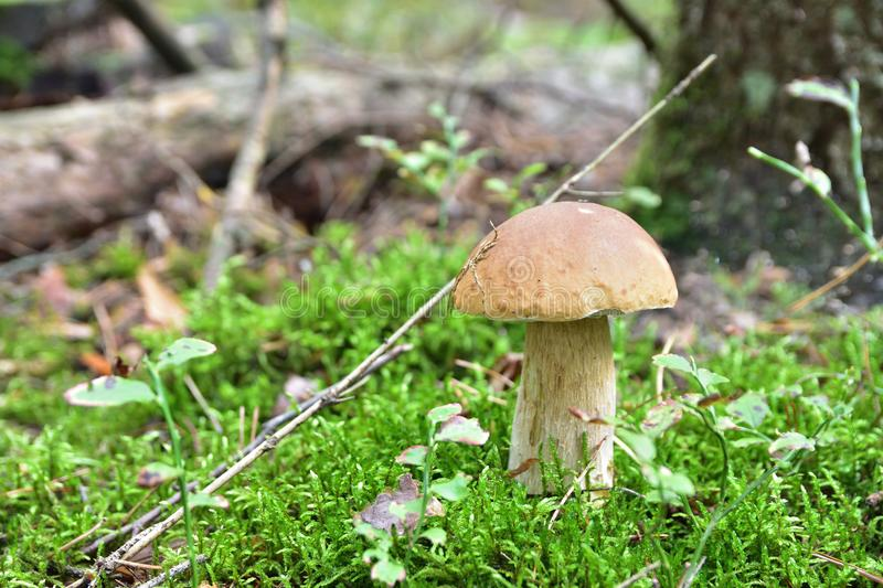 Boletus in the forest stock photos