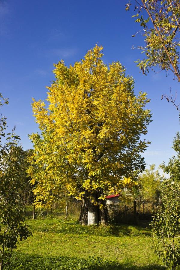 Autumn walnut tree stock photography