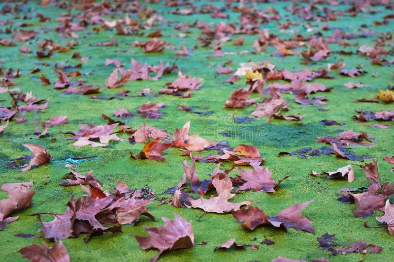 Autumn Waltz. Autumn leaves on mossy carpet on the surface of a pond stock image