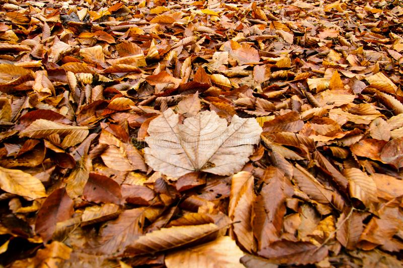 Autumn wet golden Leaves on ground. Leaf texture stock photography