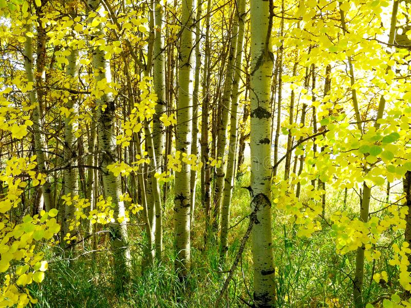 Autumn White Birch Trees with Bright Yellow Leaves. Alberta Canada. stock photography