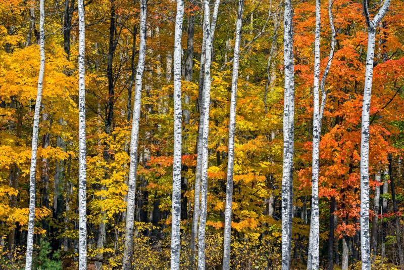 Autumn White Birch Wood royalty free stock image