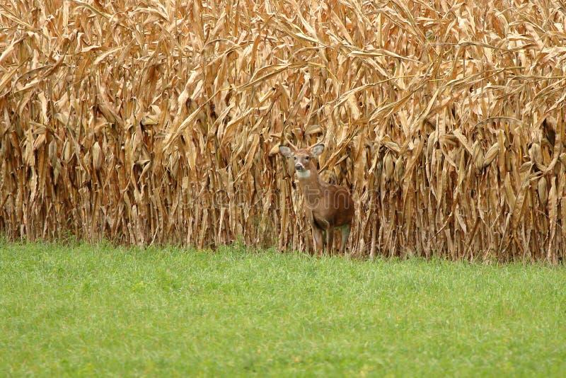 Autumn Whitetail Buck fotografía de archivo libre de regalías