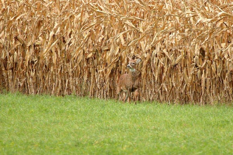 Autumn Whitetail Buck foto de archivo