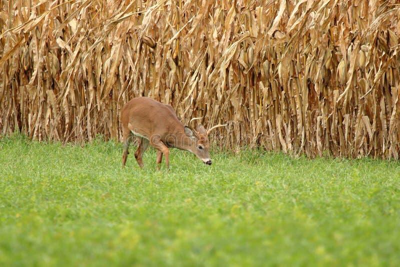 Autumn Whitetail Buck imagen de archivo libre de regalías