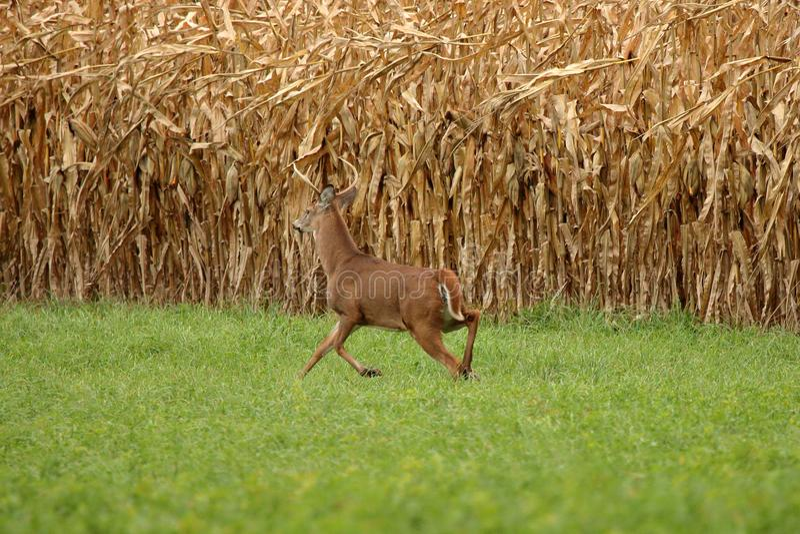 Autumn Whitetail Buck imagen de archivo