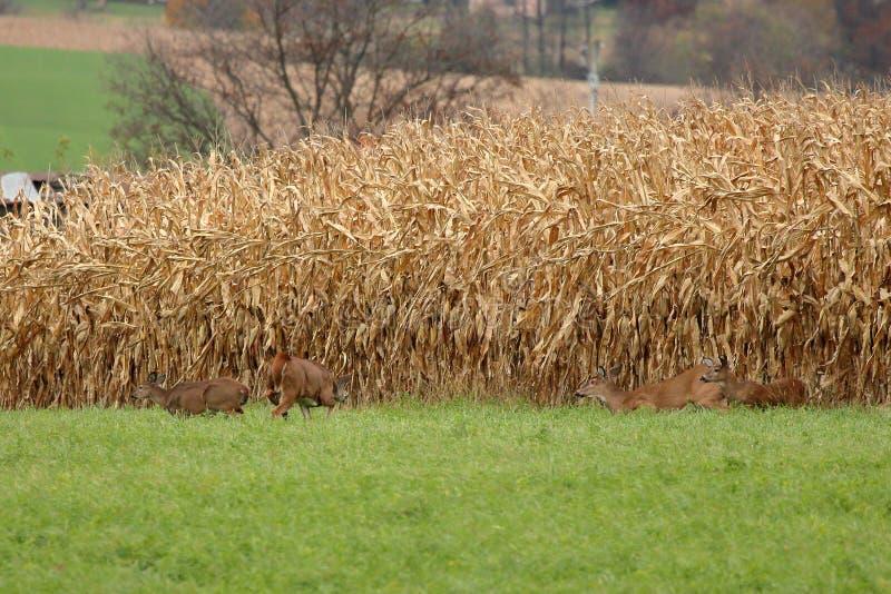 Autumn Whitetails lizenzfreies stockfoto