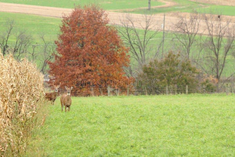 Autumn Whitetails fotos de archivo libres de regalías