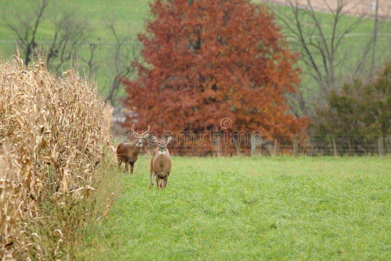 Autumn Whitetails imagenes de archivo