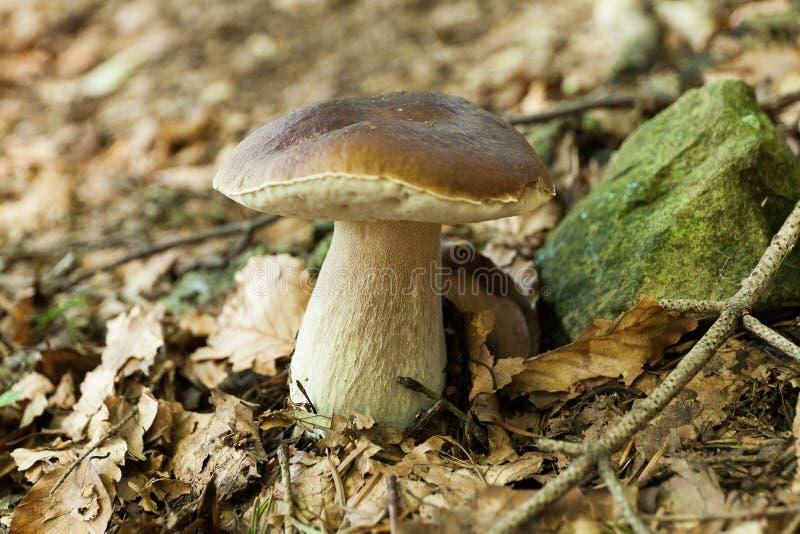 Autumn wild forest porcini, vegan boletus. Wild penny bun, cep, porcino royalty free stock photo