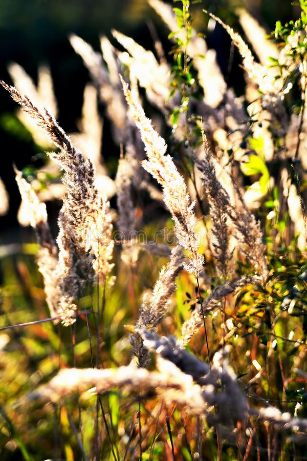 Autumn wilted grass in the sun, sunset, blur. Clouse up royalty free stock image