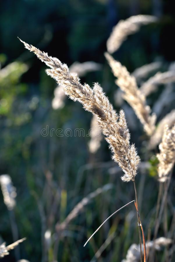 Autumn wilted grass in the sun, sunset, blur, solar tinting. Clouse up stock image