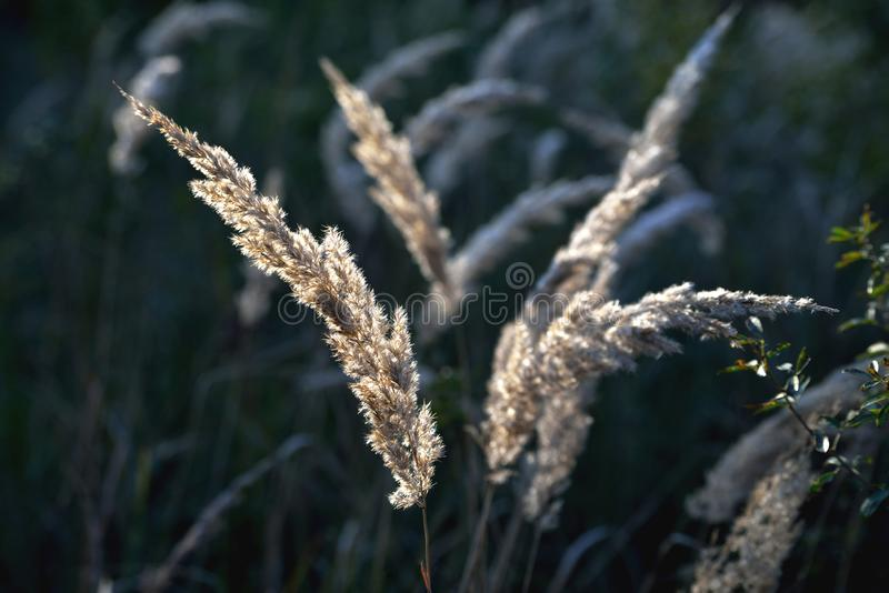 Autumn wilted grass in the sun, sunset, blur, solar tinting. Close up stock images