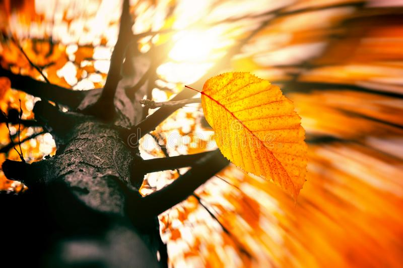 Autumn Wind Blowing Yellow Leave out of Tree Branch. Falling dry leaf royalty free stock image