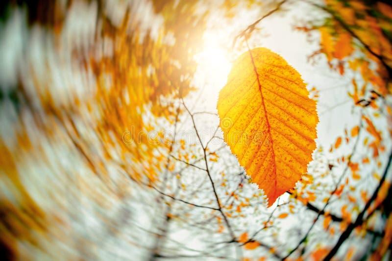 Autumn Wind Blowing Yellow Leaves. Falling Leaves. Dry Leaf. Fall Season. Sun shine stock photo