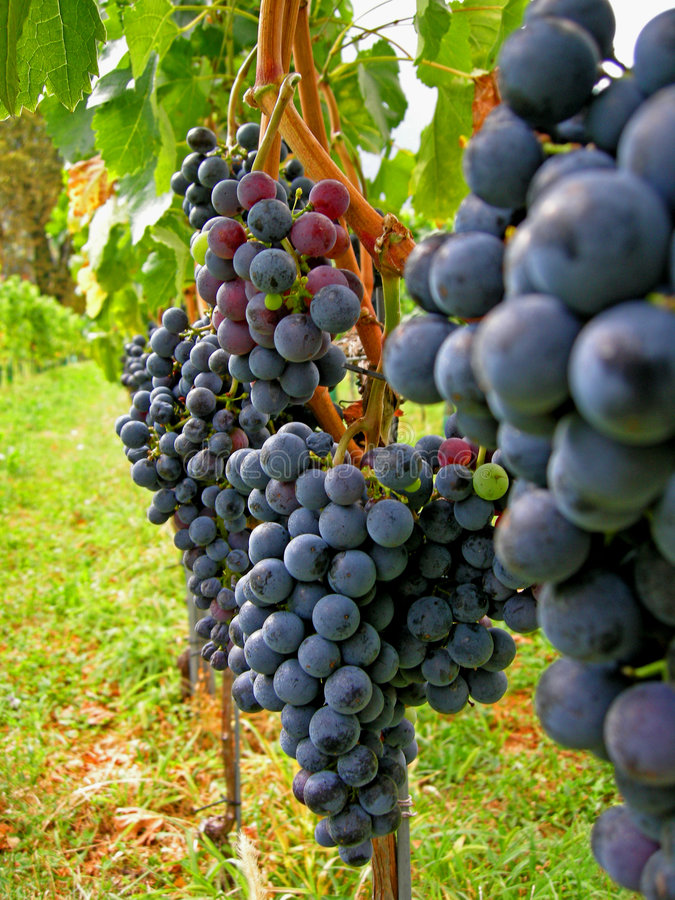 Autumn wine harvest Merlot