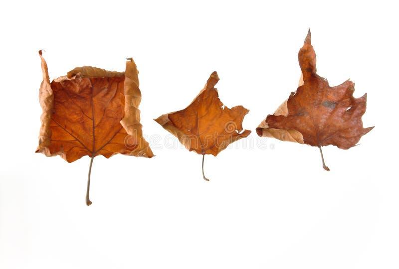 Autumn Withered-bladeren op de witte achtergrond worden geïsoleerd die stock afbeeldingen